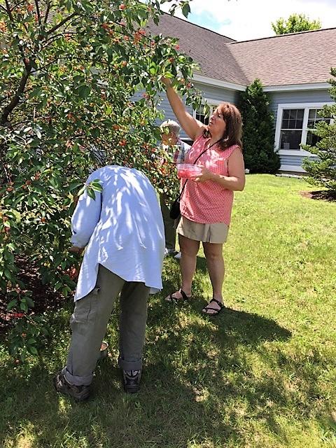 Residents picking cherries to make homemade pie and ice cream sauce